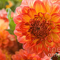 Dahlia Bright by Arlene Carmel