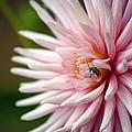 Dahlia Bug by Chris Anderson