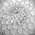 Dahlia by Dave Mills