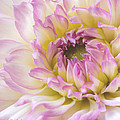 Dahlia Delight Square  by Heidi Smith