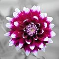 Dahlia Flower 2 by Bonfire Photography