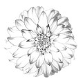 Dahlia Flower As Drawing In Black And White. by Rosemary Calvert