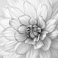 Dahlia Flower Black And White by Kim Hojnacki