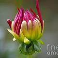 Dahlia Flower Bud by J M Lister