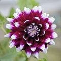 Dahlia Flower by Bonfire Photography