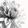 Dahlia Flower In Monochrome by Jennie Marie Schell