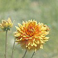Dahlia Flowers by Kim Hojnacki