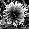 Dahlia In Black And White by Kitrina Arbuckle