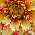 Dahlia Lady Darlene In Close Up by Rosemary Calvert