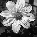Dahlia Named Alpen Cherub by J McCombie
