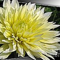 Dahlia Named Canary Fubuki by J McCombie