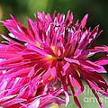 Dahlia Named Normandy Wild Willie by J McCombie