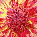 Dahlia Pom by Susan Herber