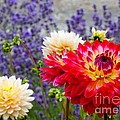 Dahlias Among The Lavender by Chris Anderson