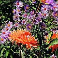 Dahlias And Asters by Michael Saunders