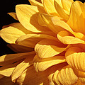 Dahlia's Light Side by Connie Handscomb