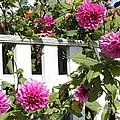 Dahlias Over The Fence by Carol Groenen