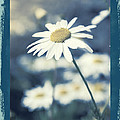 Daisies ... Again - 146a by Variance Collections