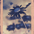 Daisies ... Again - 150ab by Variance Collections