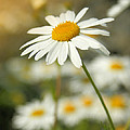 Daisies ... Again - Original by Variance Collections