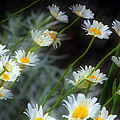 Daisies A by Jim Vance