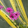 Daisies And Cactus by Kenny Bosak