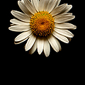 Daisies Are Not Flowers No Text by Weston Westmoreland