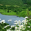 White Daisies At Queens View by Joan-Violet Stretch