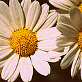 Daisies by Chevy Fleet