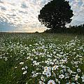 Daisies by Graham Custance