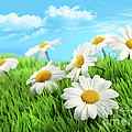 Daisies In Grass Against A Blue Sky by Sandra Cunningham