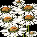 Daisies In The Dark by Carol Jacobs