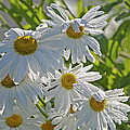 Daisies In The Sun 2 by Sharon Talson