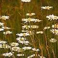 Daisies by Mel Hensley