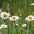 Daisies by MTBobbins Photography