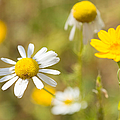 Daisies On Summer Meadow by Matthias Hauser