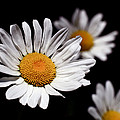 Daisies by Rona Black