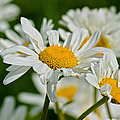 Daisies by Scott Carruthers