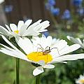 Daisies With Phalangiid Vistitor by Douglas Barnett