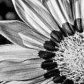 Daisy - Bw by Christopher Holmes