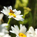 Daisy by Alan Hutchins