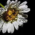 Daisy by Barry Chignell