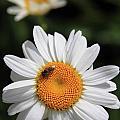 Daisy Bee Nice by Reid Callaway