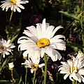 Daisy by Brandi Maher
