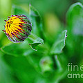 Daisy Bud Ready To Bloom by Kaye Menner
