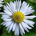 Daisy by Carol Lynch