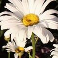 Daisy Close Up by Brandi Maher