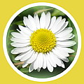 Daisy Closeup by The Creative Minds Art and Photography