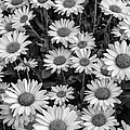 Daisy Cluster Vermont Flowers In Black And White by Andy Gimino