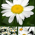 Daisy Collage by Linda Galok